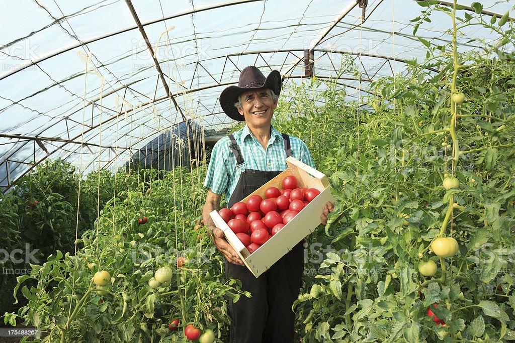 Farmer Picking Tomatoes stock photo