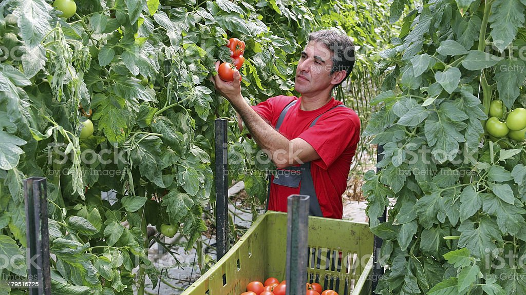 Farmer Picking Tomatoes stock photo