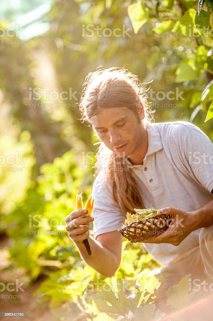 Farmer picking up Zucchini Flower stock photo