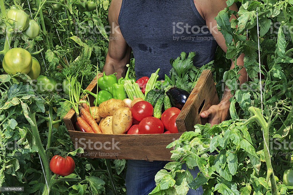 Farmer Picking Vegetables royalty-free stock photo