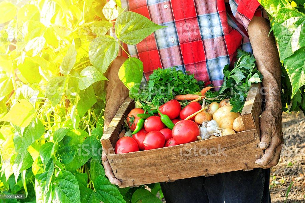 Farmer Picking Vegetables stock photo