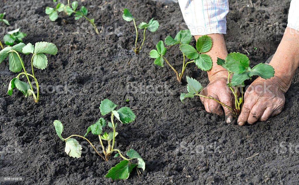 farmer planting a strawberry seedling stock photo