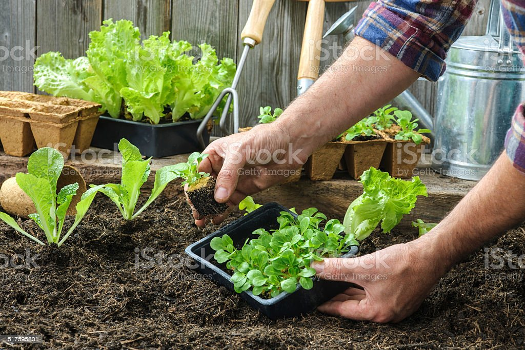 Farmer planting young seedlings stock photo