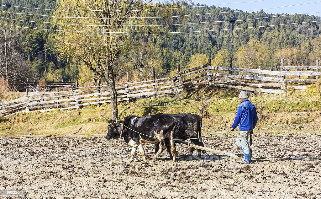 farmer plowing with oxen stock photo