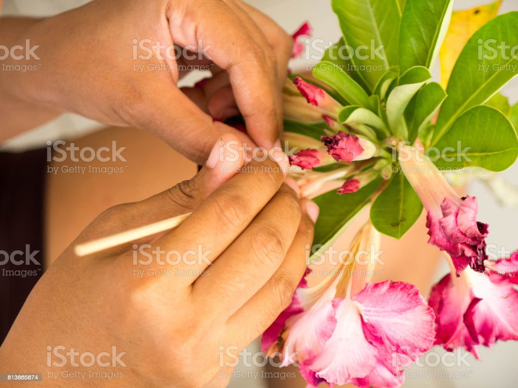 Farmer pollinate manually a red Impala Lily flower. for a seed of planting. stock photo