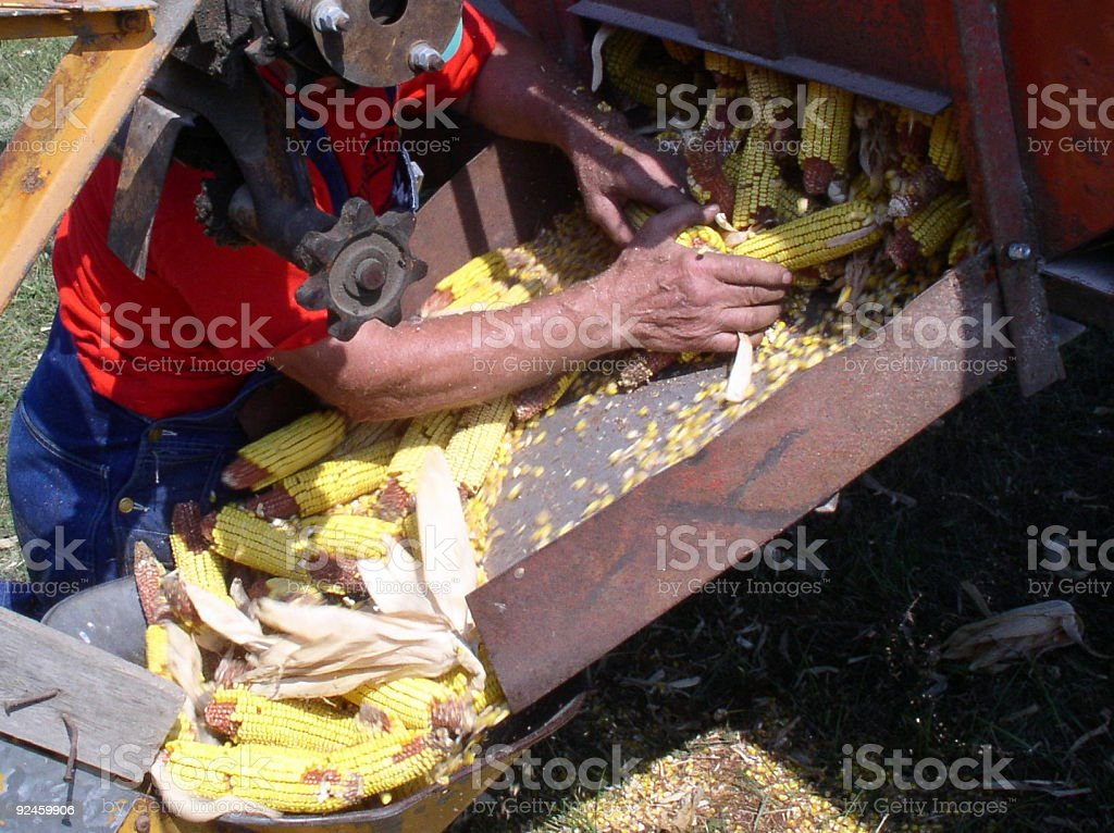 Farmer processing the harvest of corn (maize) royalty-free stock photo
