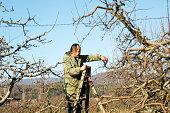 Farmer pruning apple tree in orchard in Resen