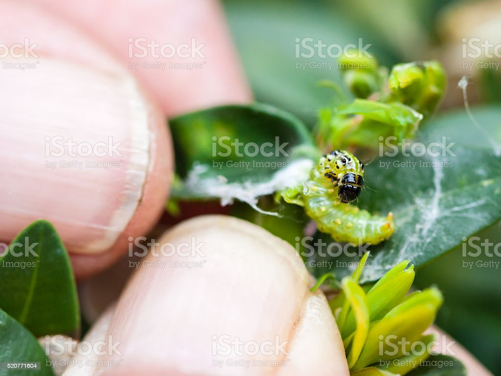 farmer removes caterpillar of insect pest stock photo