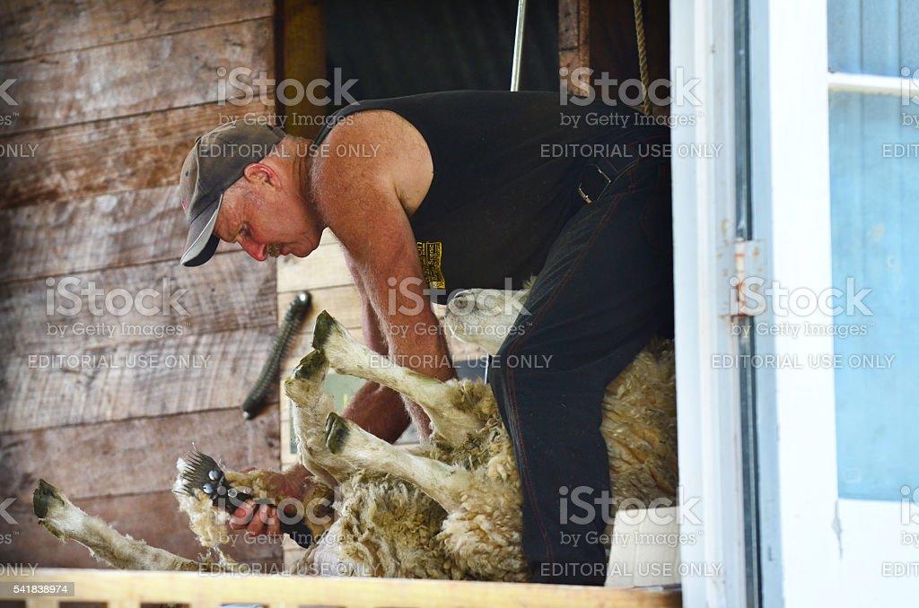 Farmer shears a sheep in a sheep farm stock photo
