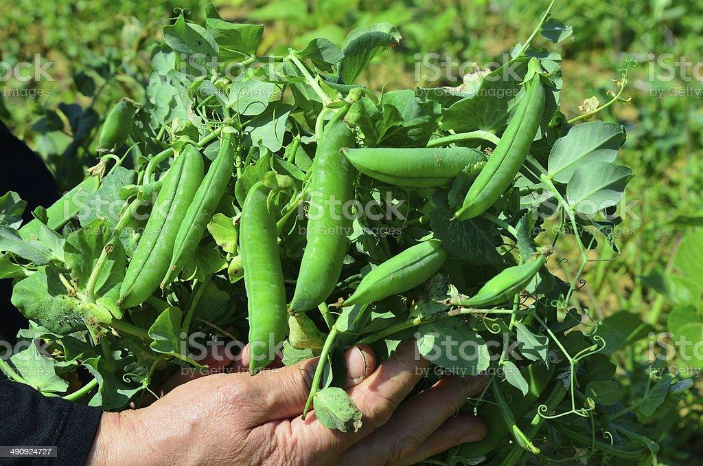 Farmer showing fresh  peas royalty-free stock photo