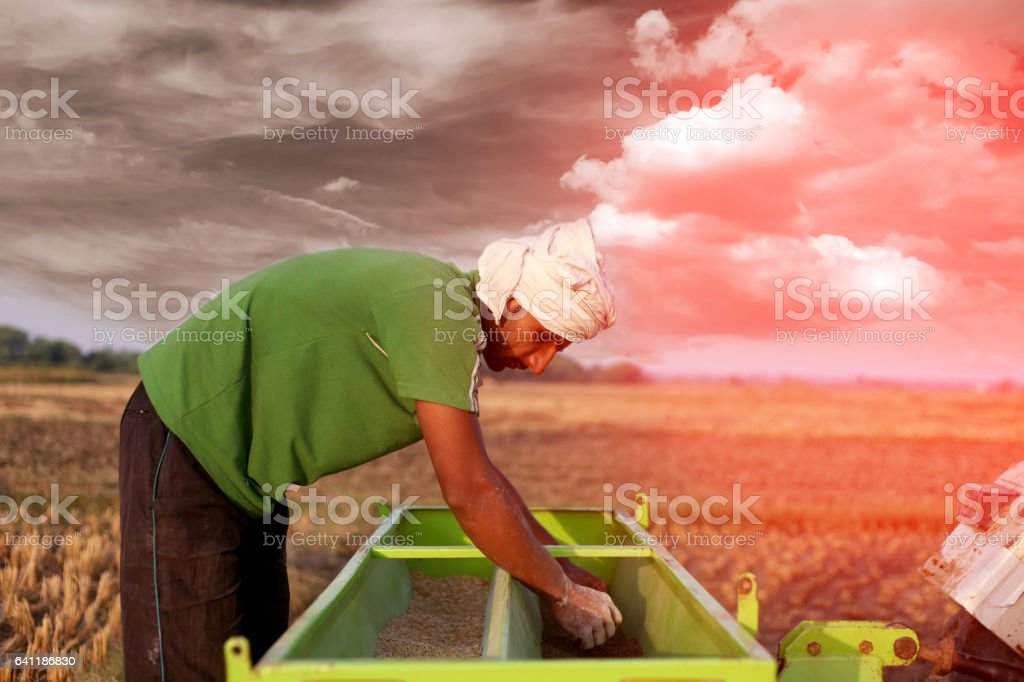 Farmer sowing wheat crop in the field stock photo