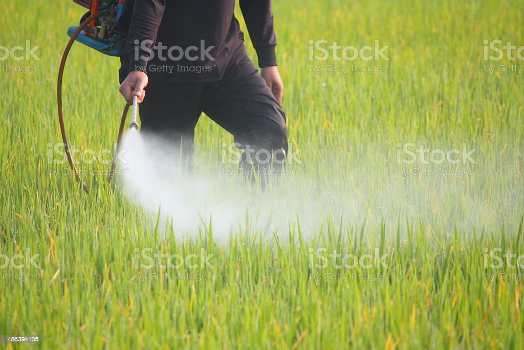 farmer spraying pesticide in the rice field stock photo