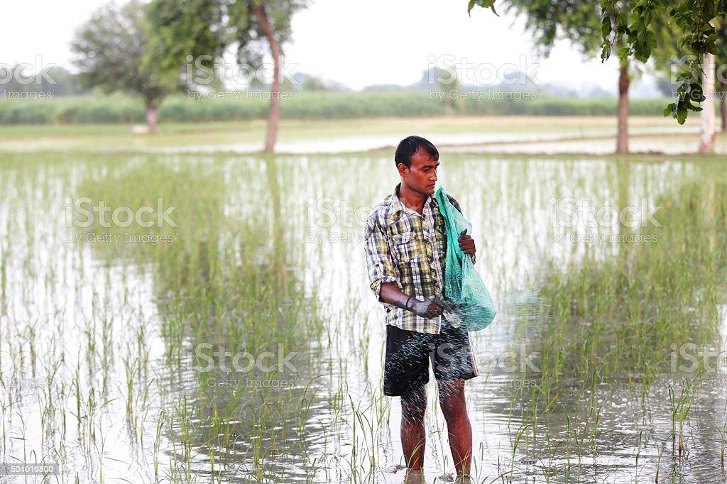 Farmer Spreading Fertilizer In Paddy Field stock photo