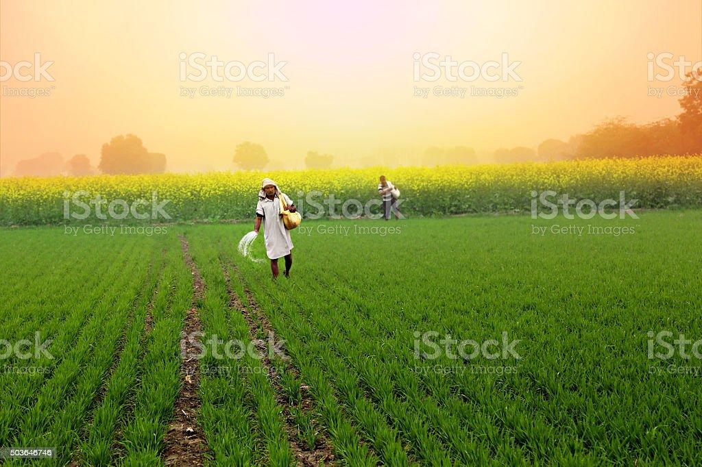 Farmer Spreading fertilizer in the Field wheat stock photo