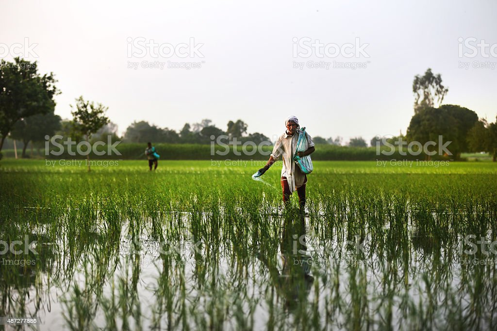 Farmer Spreads fertilizers in the Field of Paddy Rice plants stock photo
