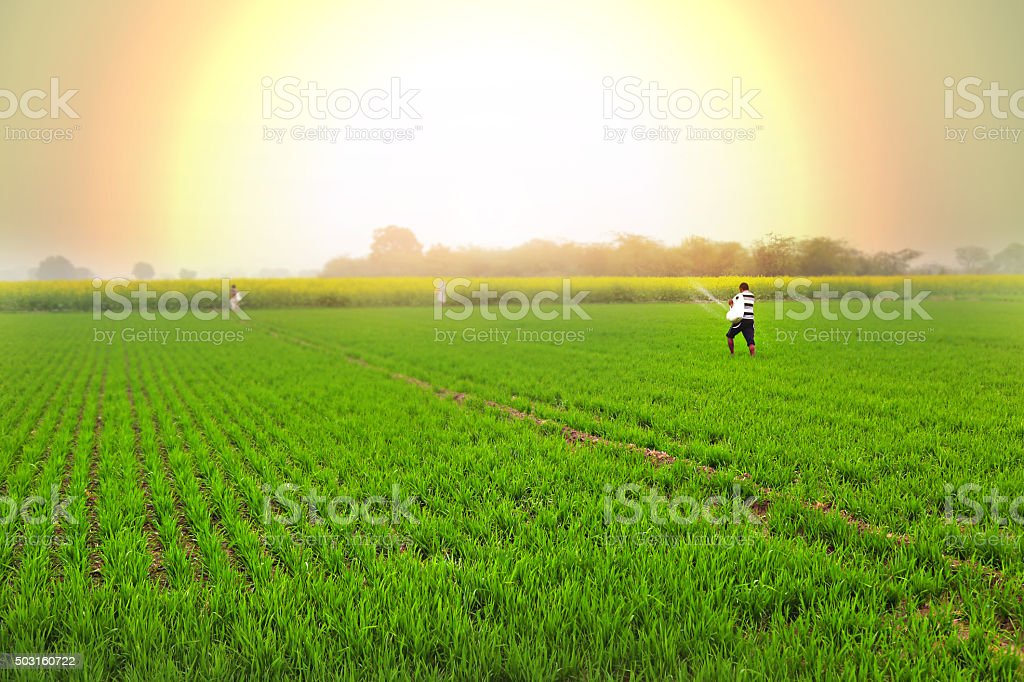 Farmer Spreads fertilizers in the Field wheat stock photo