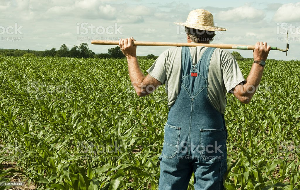 farmer standing in a corn field stock photo