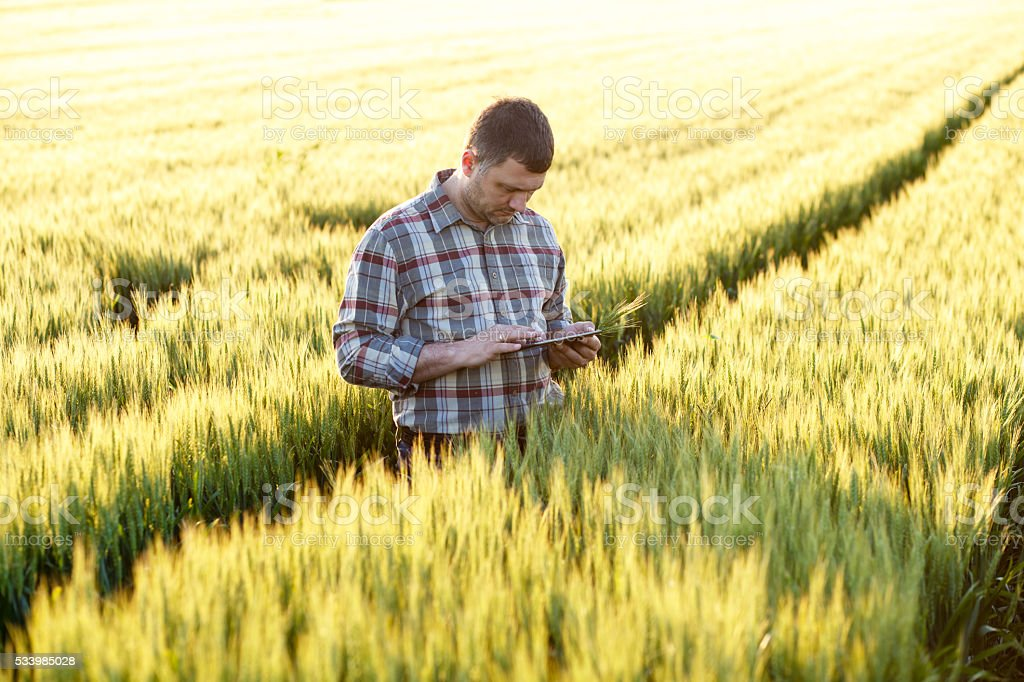 Farmer standing in a wheat field and looking at tablet stock photo