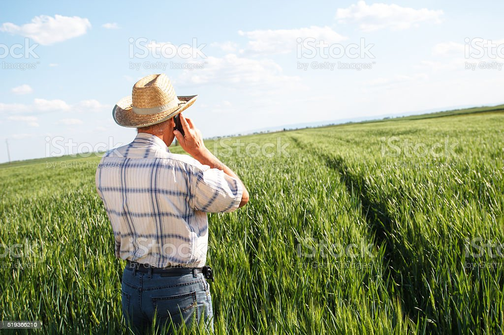 Farmer standing in a wheat field and talking on phone stock photo