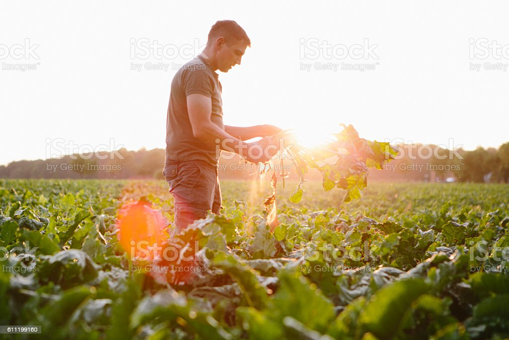 farmer stands in his fields, looks at his sugar beets stock photo