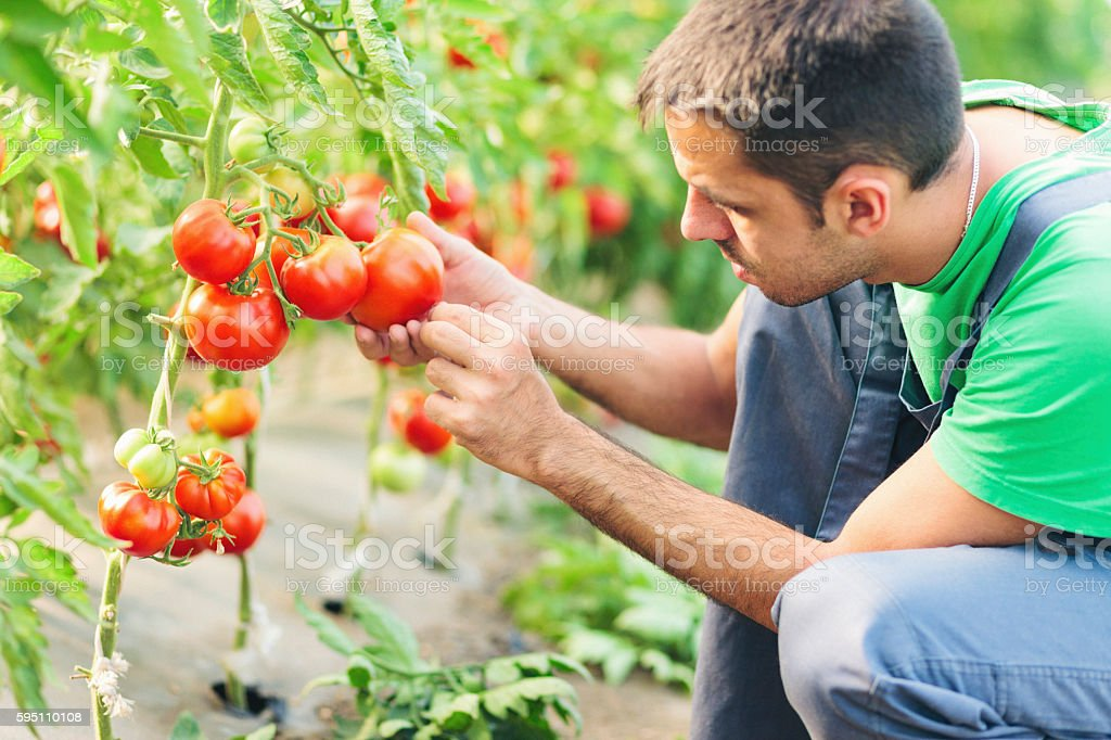 Farmer taking care of tomatoes in green house stock photo