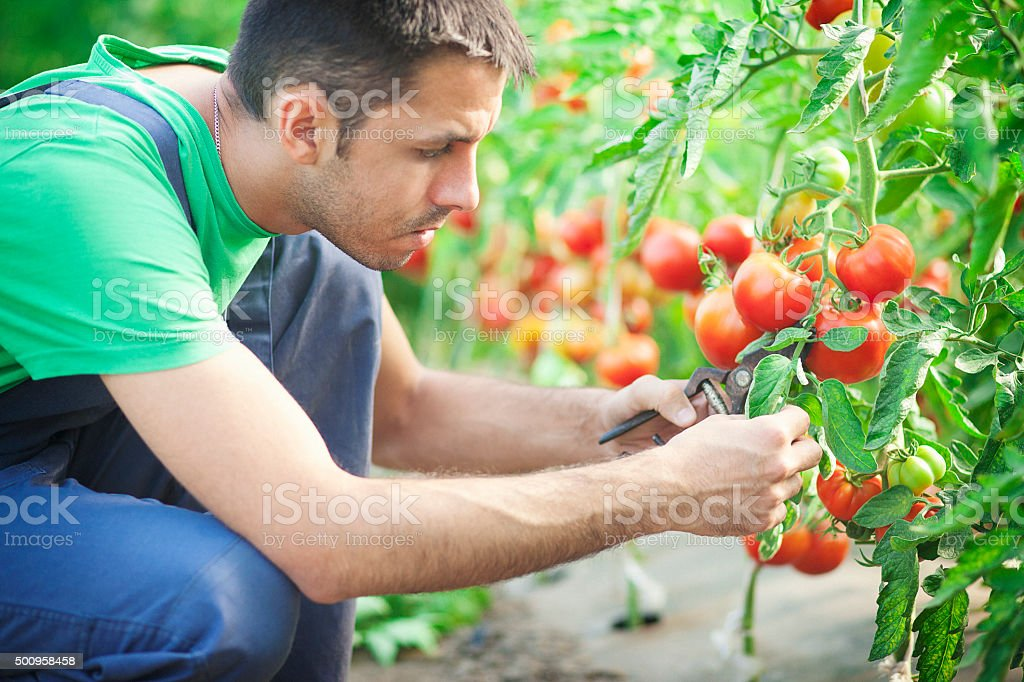 Farmer taking care of tomatoes in the green house stock photo