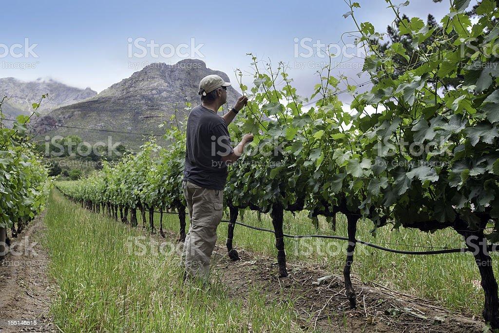 Farmer tending vines, South Africa stock photo
