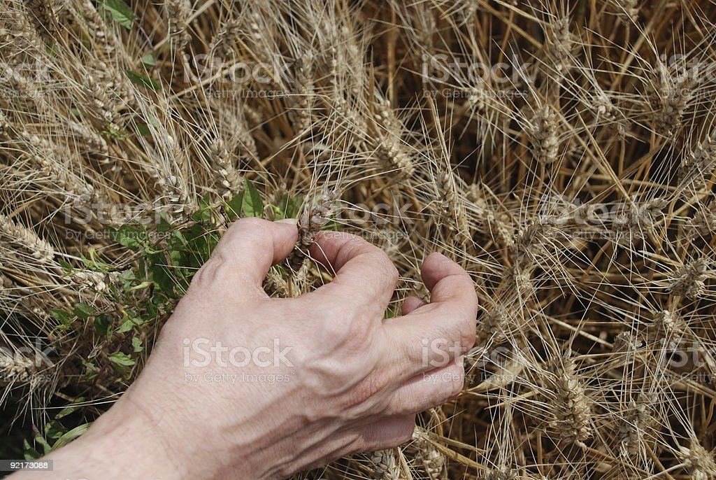 Farmer testing grain stock photo
