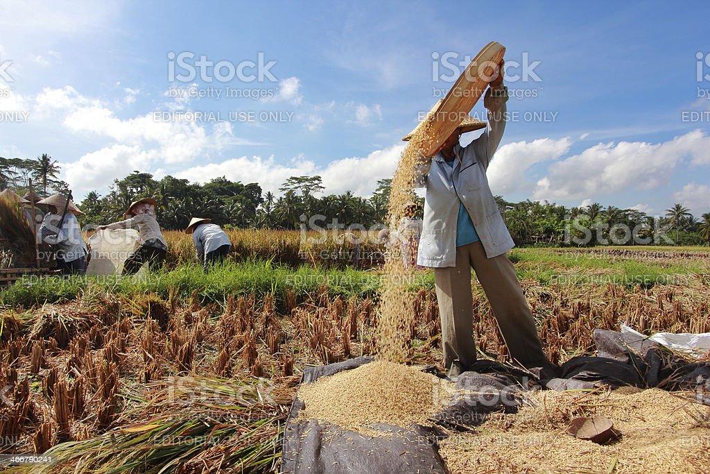 Farmer thresh rice, Bali , Indonesia. stock photo