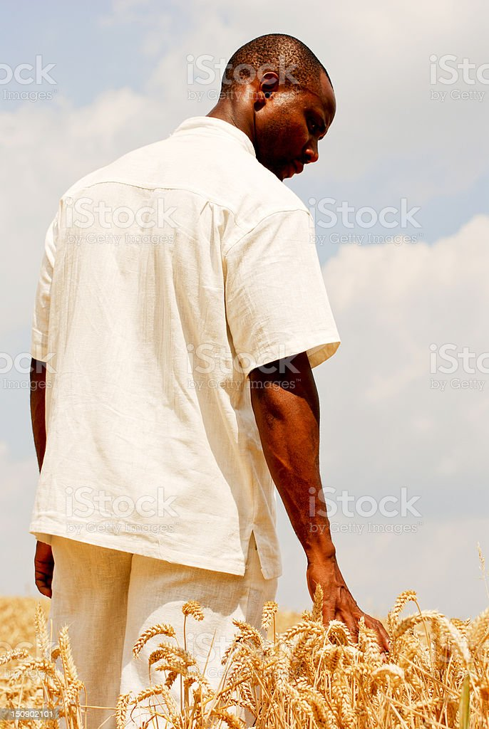 Farmer touching the wheat royalty-free stock photo