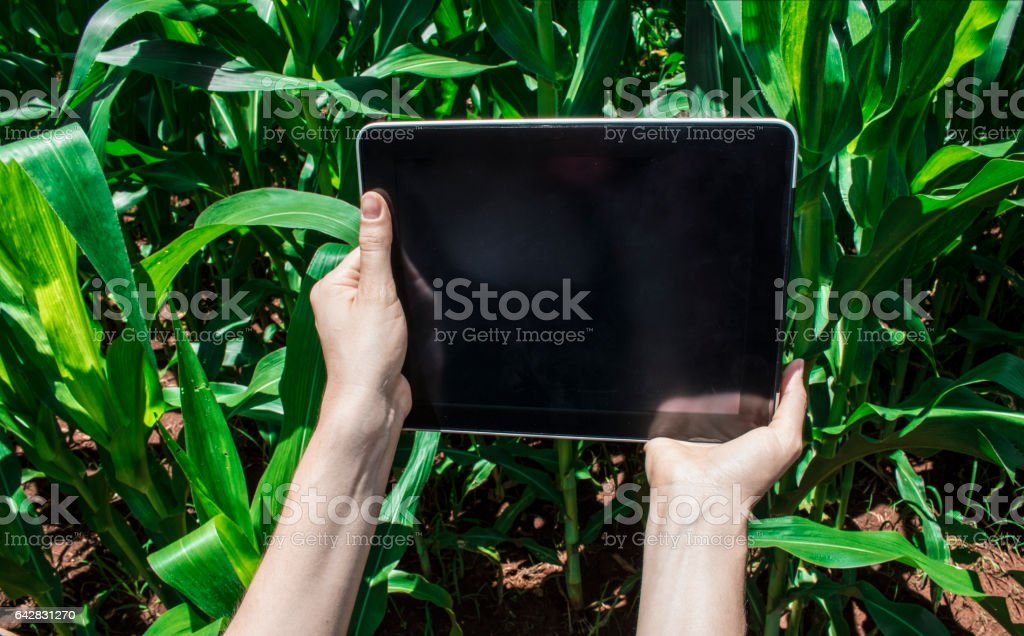 Farmer using digital tablet computer in cultivated corn plantation stock photo