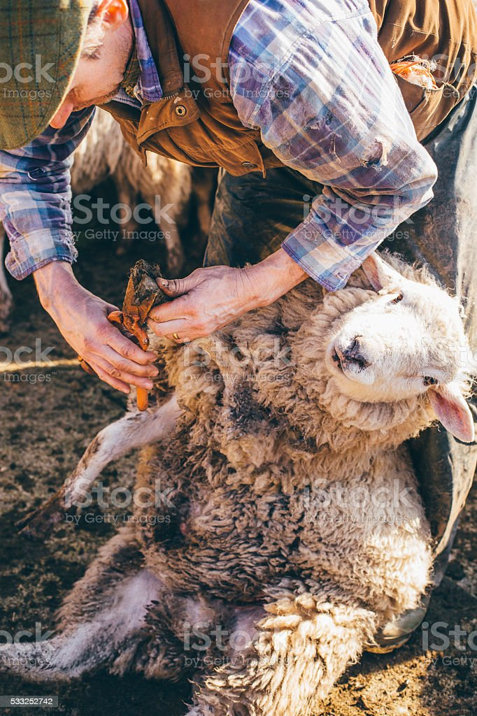 Farmer Using Toe Clippers stock photo