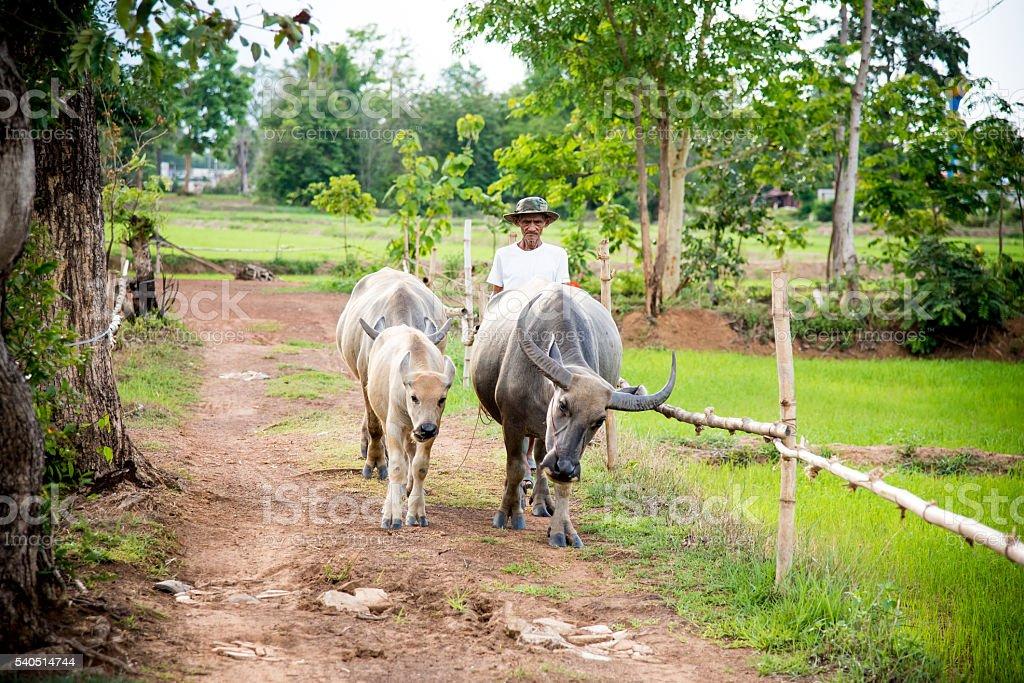 Farmer waking with his buffaloes near jasmine rice fields. stock photo