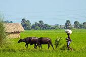 Farmer walking behind his couple of water buffalo