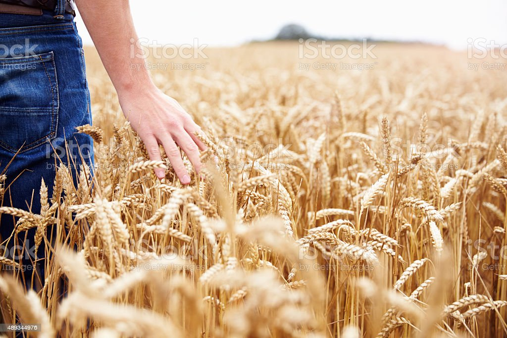 Farmer Walking Through Field Checking Wheat Crop stock photo
