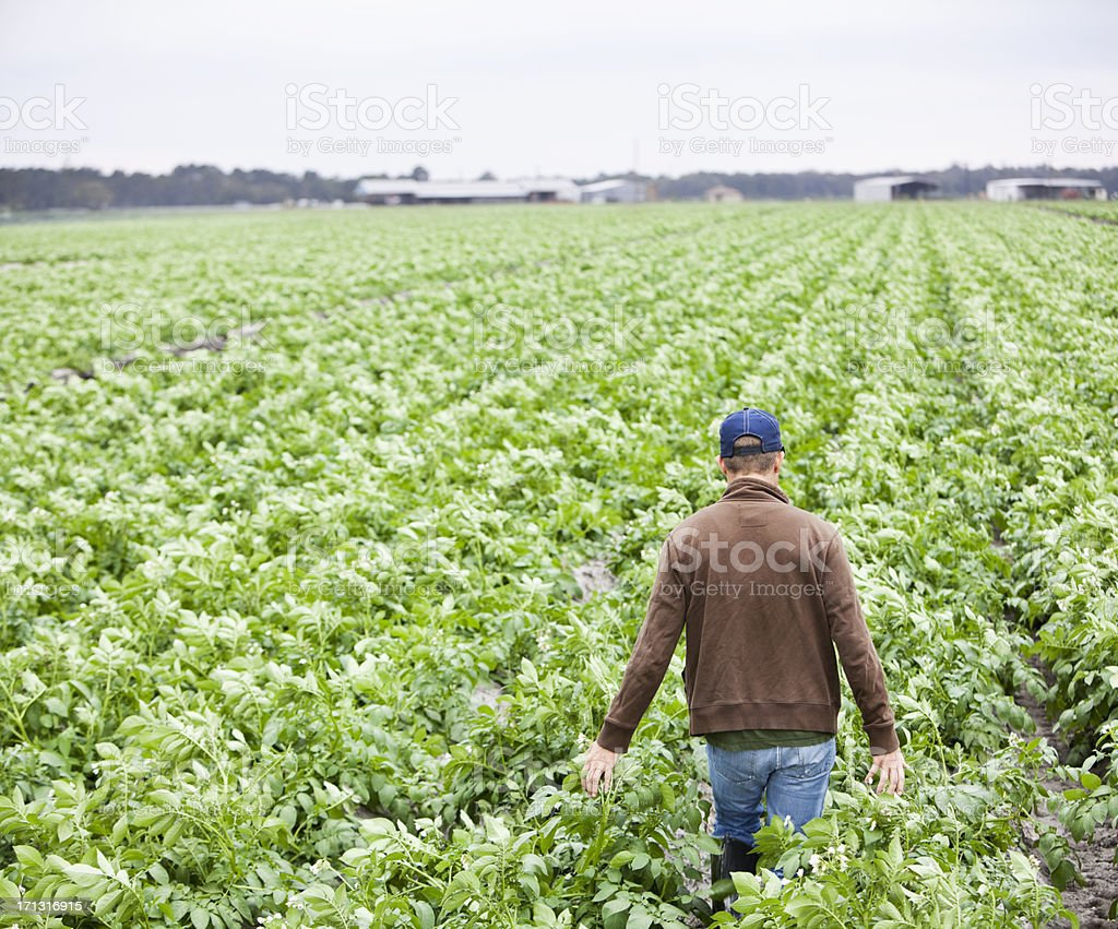 Farmer walking through field of crops stock photo