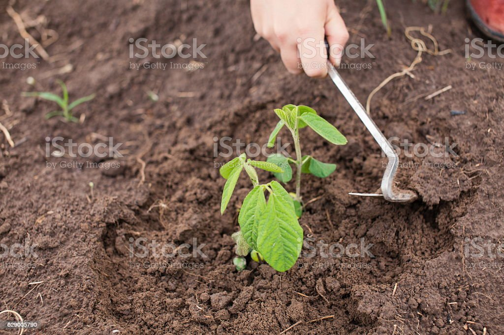 Farmer weeding young soy plant stock photo