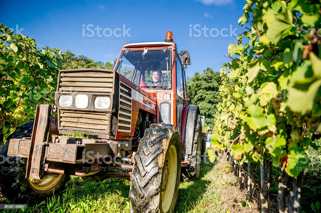 Farmer with a Tractor in the Vineyard stock photo