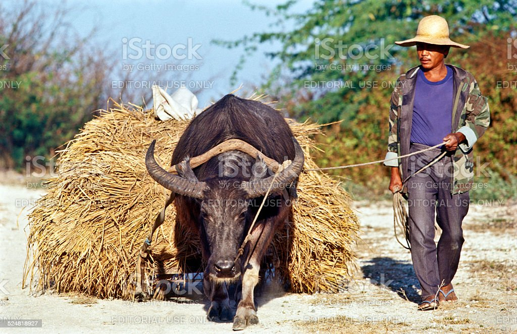 Farmer with carabao stock photo