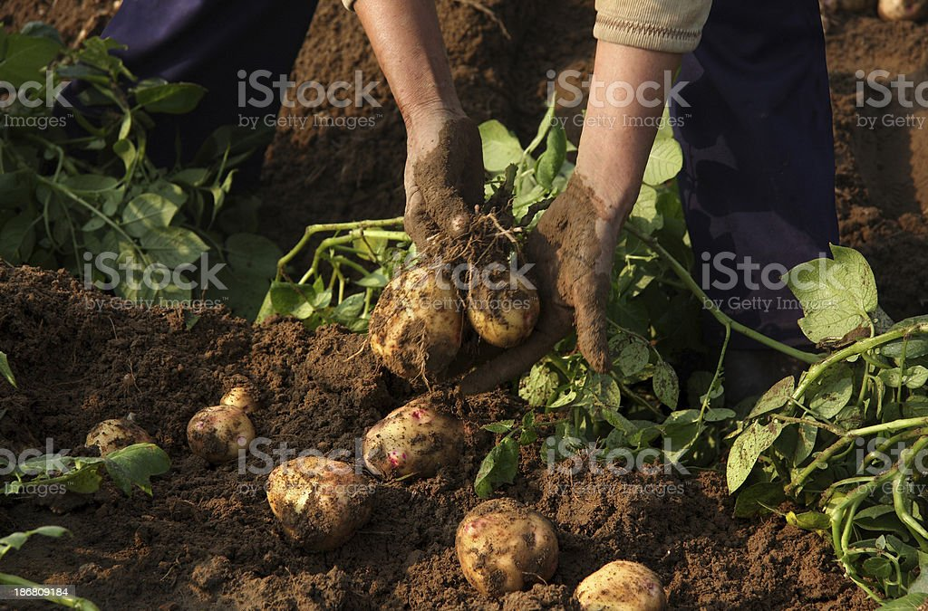 Farmer with freshly harvested potatoes royalty-free stock photo
