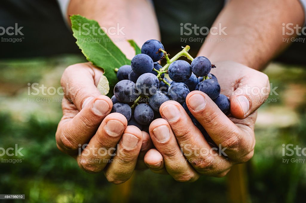 Farmer with grapes stock photo
