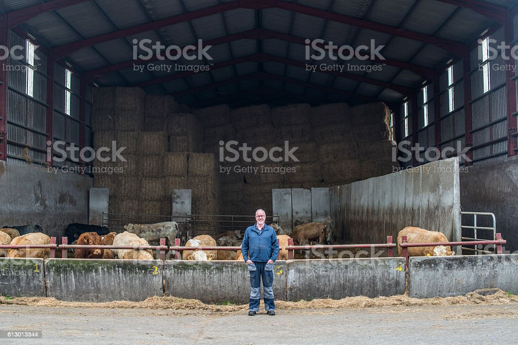 Farmer with his herd of bulls in barn stock photo