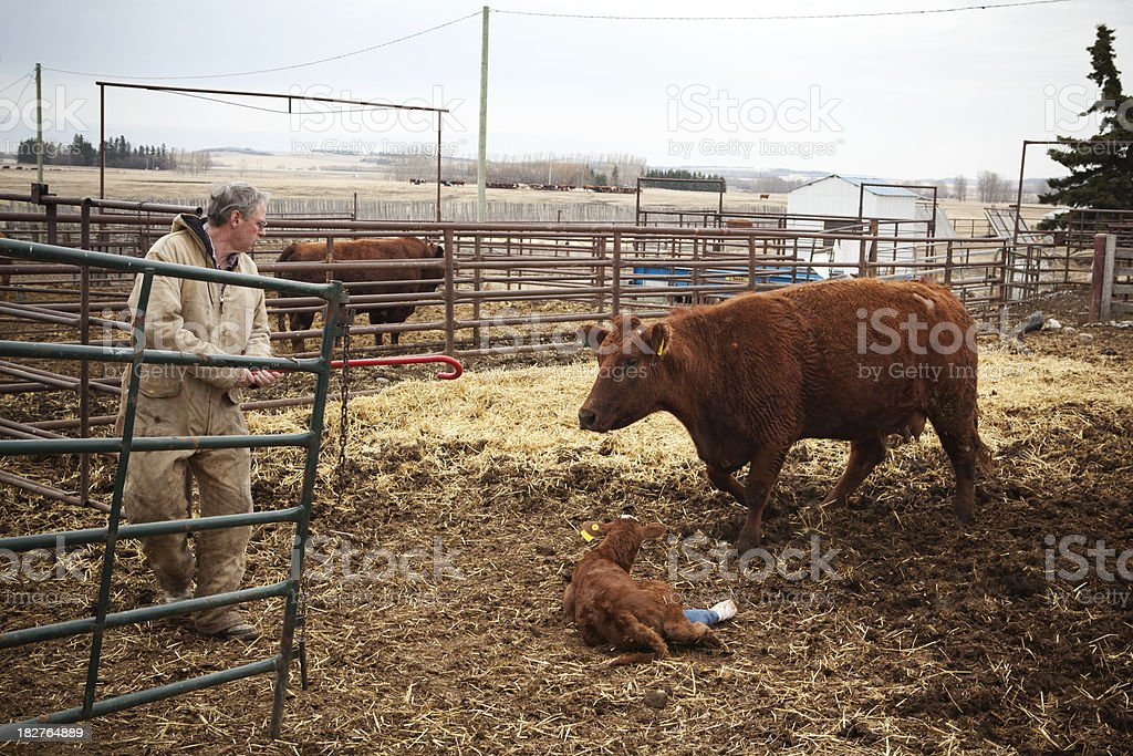 Farmer With Injured Calf and Mother royalty-free stock photo