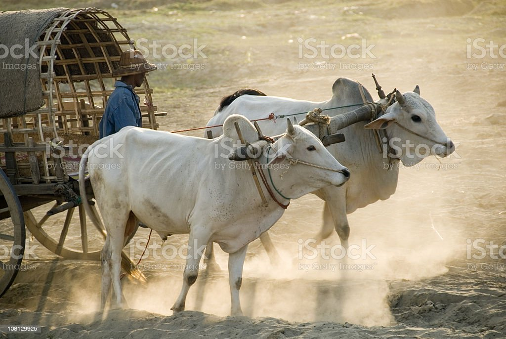 Farmer with ox cart stock photo