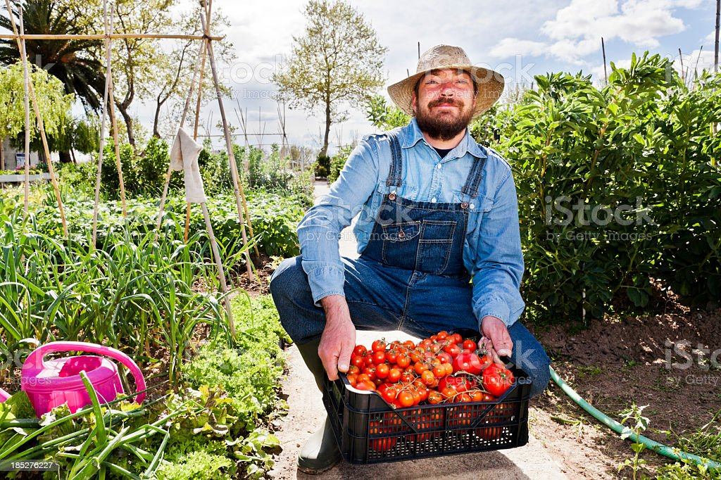 Farmer with tomatoes royalty-free stock photo