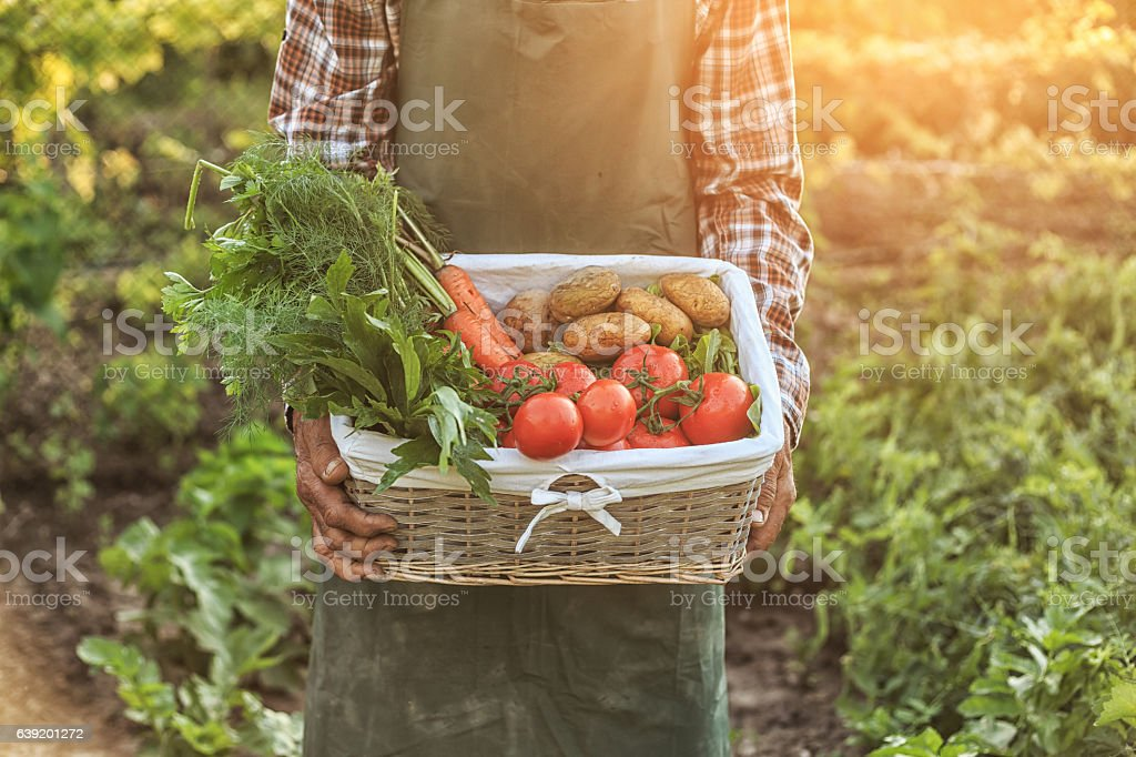 Farmer worker holding a basket with vegetables stock photo