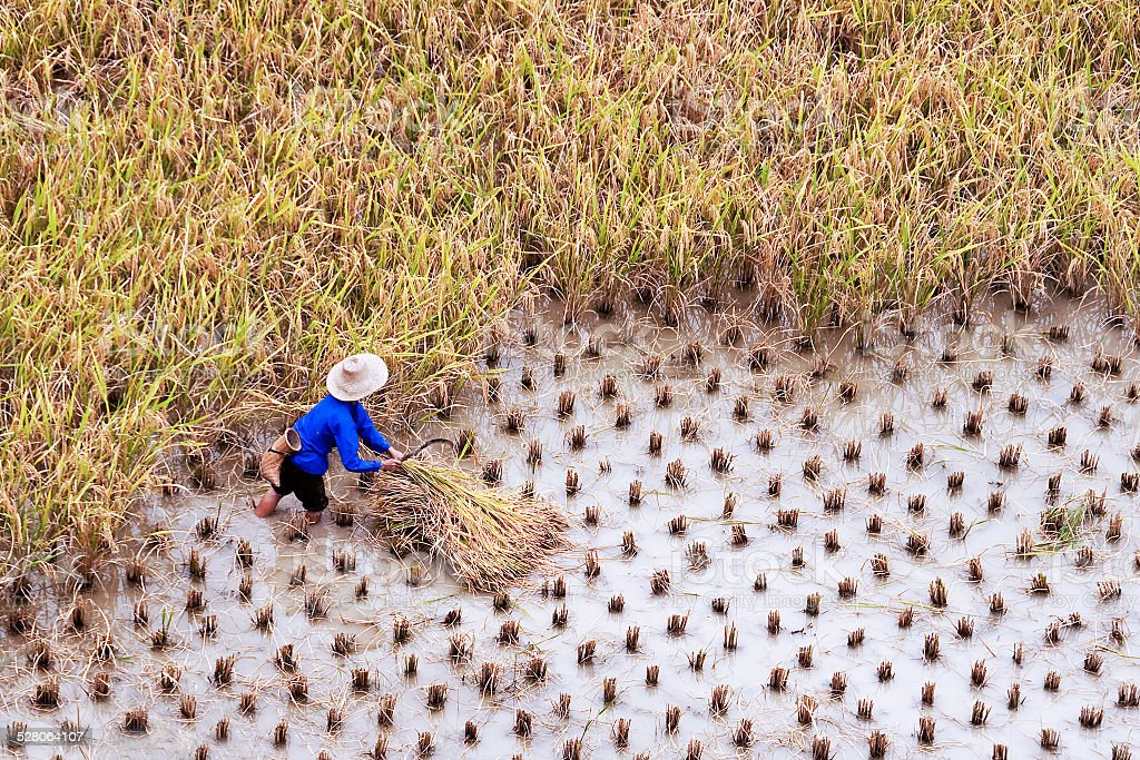 Farmer working in a paddy rice field, Guangxi, China stock photo