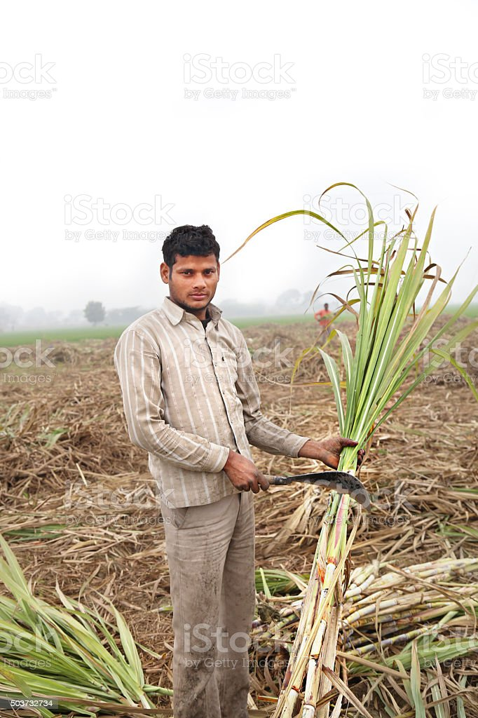Farmer working in the Sugarcane field Portrait stock photo