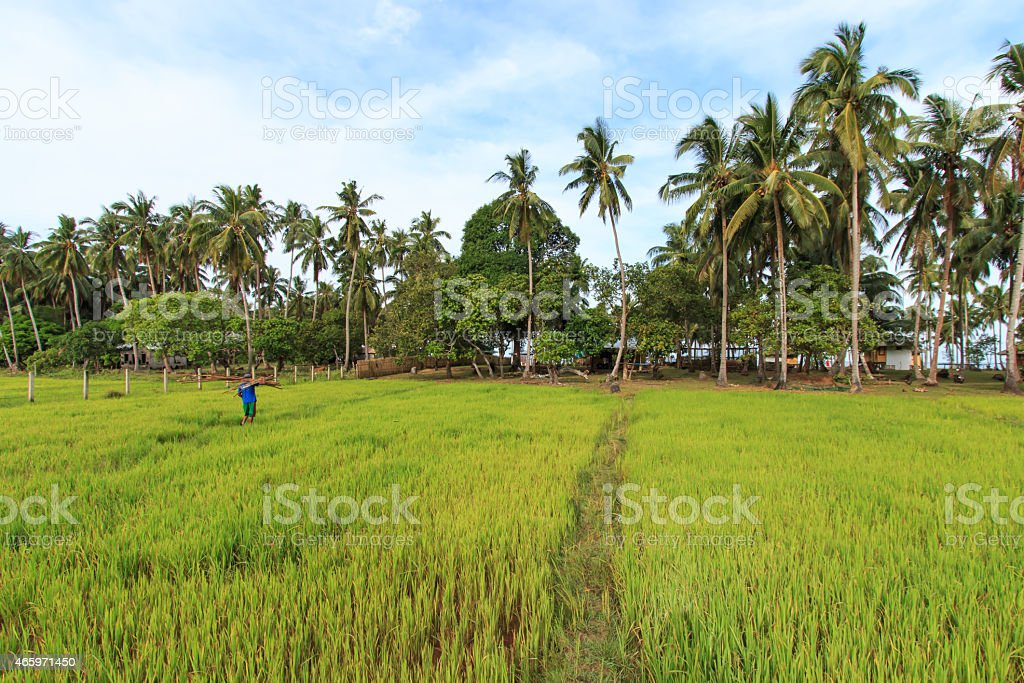 Farmer working of a rice field in Palawan, Philippines stock photo