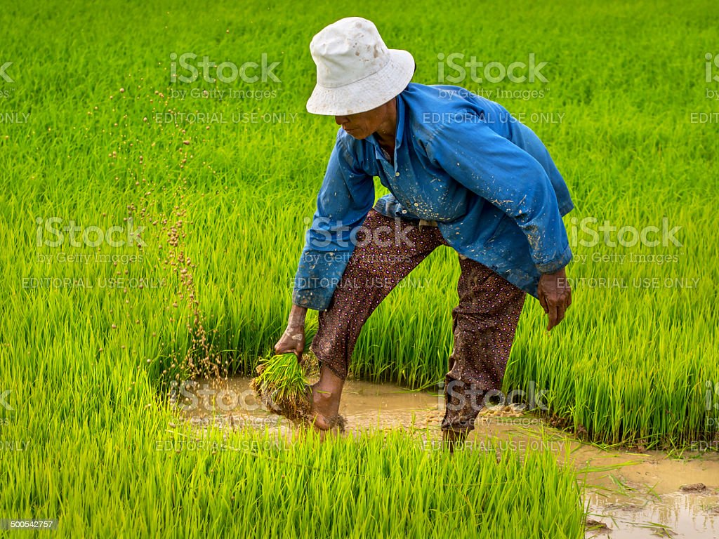 Farmer Working on Rice Field, Siem Reap, Cambodia royalty-free stock photo